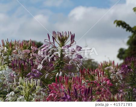 酔蝶花と呼ばれるクレオメの白と桃色の花 41571785
