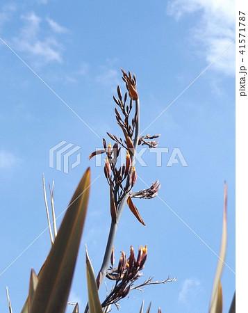 もうすぐ開花するニューサイランオレンジ色の蕾 41571787