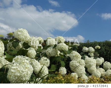 ハイドランジアアナベルというアジサイの白い花 41572641