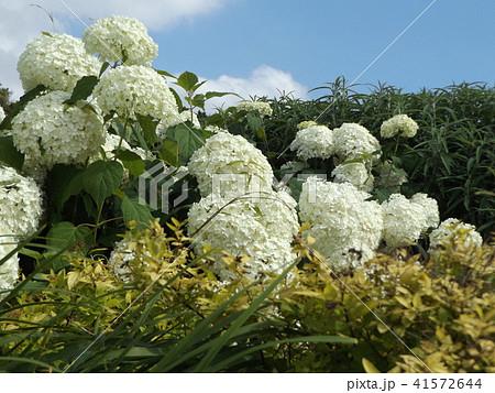 ハイドランジアアナベルというアジサイの白い花 41572644
