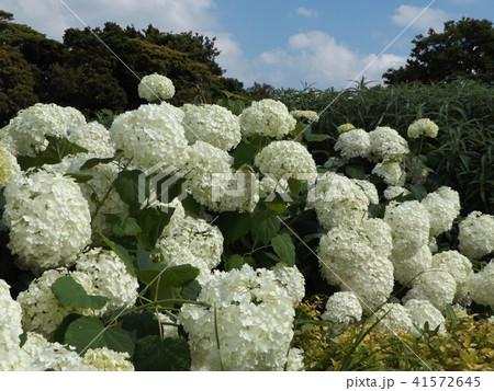 ハイドランジアアナベルというアジサイの白い花 41572645