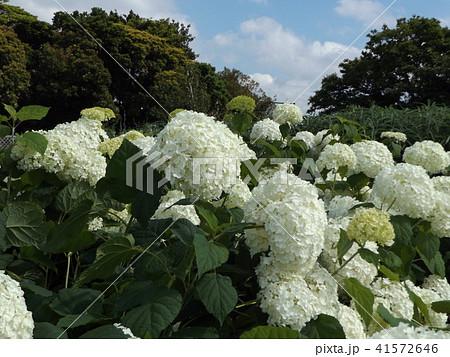 ハイドランジアアナベルというアジサイの白い花 41572646