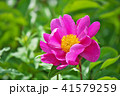 植物 芍薬 花の写真 41579259