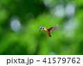 鳥 野鳥 カワセミの写真 41579762