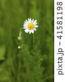 花 ハーブ カモミールの写真 41581198