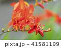 クロコスミアの花 41581199