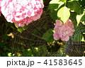 蜘蛛の巣 アジサイ 蜘蛛の写真 41583645