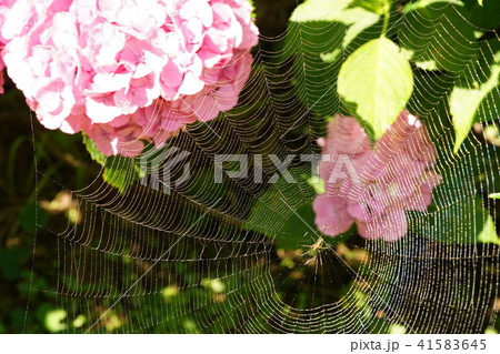アジサイ・蜘蛛の巣 41583645