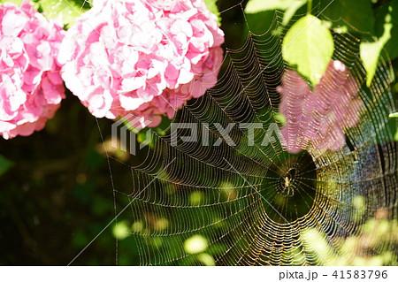 アジサイ・蜘蛛の巣 41583796