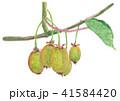 キウイ 水彩画 フルーツのイラスト 41584420