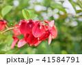 花 アメリカデイゴ 赤色の写真 41584791