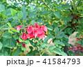 花 アメリカデイゴ 赤色の写真 41584793