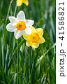 白と黄色のスイセン 41586821
