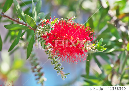 真赤なブラシノキの花 41588540