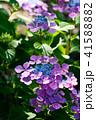 植物 花 ウインドミルの写真 41588882