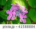 植物 花 ウインドミルの写真 41588884