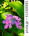 植物 花 ウインドミルの写真 41588885