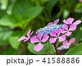 植物 花 ウインドミルの写真 41588886