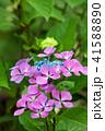 植物 花 ウインドミルの写真 41588890
