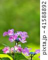 植物 花 アジサイの写真 41588892