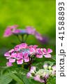 植物 花 アジサイの写真 41588893