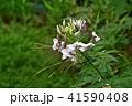 クレオメ 花 クローズアップの写真 41590408