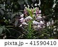 クレオメ セイヨウフウチョウソウ 花の写真 41590410