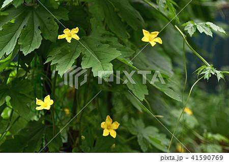 ゴーヤの花 41590769