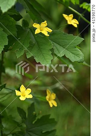 ゴーヤの花 41590770