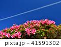 ツツジ 快晴 晴天の写真 41591302