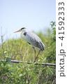 青鷺 鳥 野鳥の写真 41592333