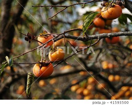 完熟した秋の味覚 41593500