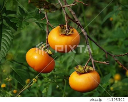 熟した秋の旬の甘柿 41593502
