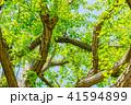 イチョウ 新緑 木の写真 41594899