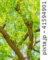 イチョウ 新緑 木の写真 41594901