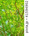 【東京都】新緑のイチョウ 41594902