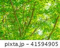 イチョウ 新緑 木の写真 41594905