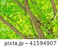イチョウ 新緑 木の写真 41594907