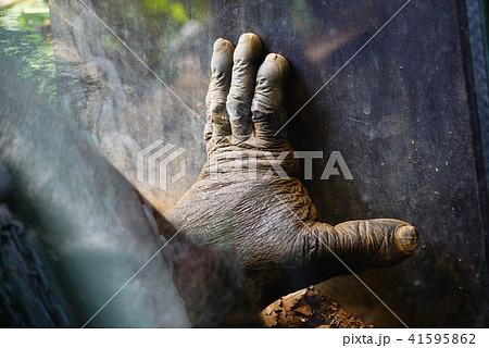 チンパンジーの手 41595862