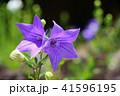 奈良・なら町元興寺のキキョウ2 41596195