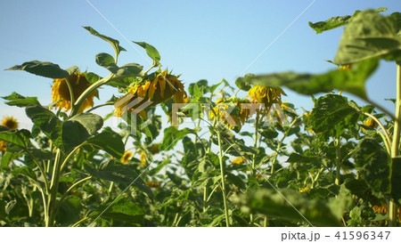 Field of sunflowers with blue sky background Summertime 41596347
