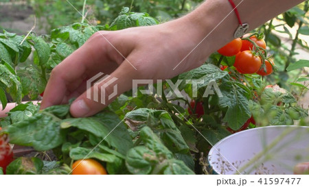 Young woman picking red cherry tomatoes and putting them into bowl. By bed in garden. 41597477
