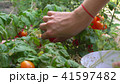 Young woman picking red cherry tomatoes and putting them into bowl. By bed in garden. 41597482