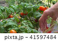 Young woman picking red cherry tomatoes and putting them into bowl. By bed in garden. 41597484