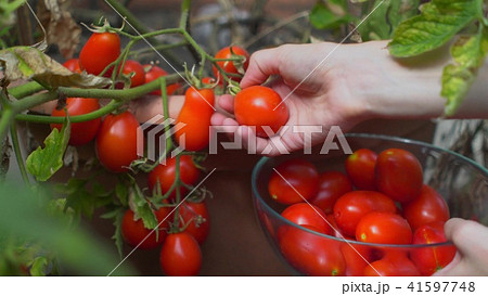 Hand of a young woman picking ripe red tomatoes by flowerbed in garden. 41597748