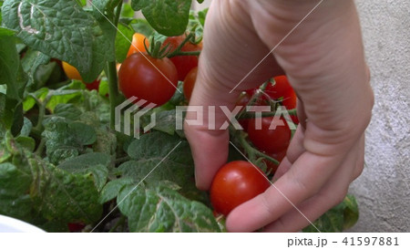 Close up of harvesting ripe red cherry tomatoes. By a bed in the garden. 41597881