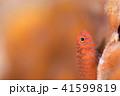 オキナワベニハゼ 41599819