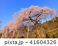 田ノ頭のしだれ桜 桜 春の写真 41604326