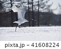 飛び立つ 鳥 タンチョウの写真 41608224