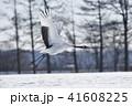 飛び立つ 鳥 タンチョウの写真 41608225